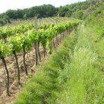 Príležitosť pre zefektívnenie ozeleňovania vinohradov