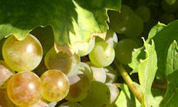 vinohradnicke-kategoria